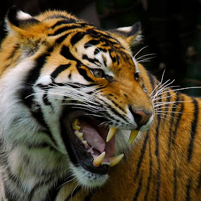 Tiger by John Mcloughlin Wildlife Photography - Animals Lions, Tigers & Big Cats ( big cats, tiger, wildlife,  )