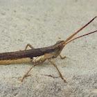 Slender Range Grasshopper