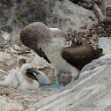 Blue-footed booby (adult & chicks)