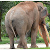 The Asian or Asiatic elephant