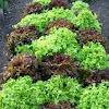 Lechuga. Lettuce
