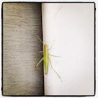 Narrow-winged Tree Cricket, female