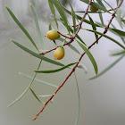 Yellow-berry Bush
