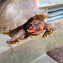 Three-toed box turtle