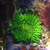 Giant Green Anemone, Red Sea Urchin, and Purple Sea Urchins