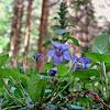 Wood violet/Dišeča vijolica