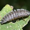 Netwing Larva