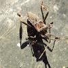 gamba-de-finestra/Western Conifer  Sed Bug /