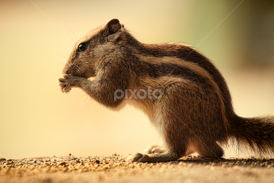 by Bharat Dudeja - Animals Other ( squirrel, animal,  )