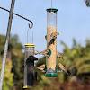 American Goldfinch (non-breeding plumage)