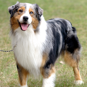 Dog Puzzle:Australian Shepherd for PC and MAC