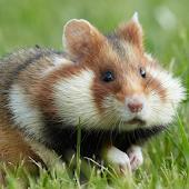 European hamster Wallpapers