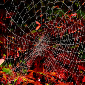 by Roman Kolodziej - Nature Up Close Webs ( water, creation, nature, drops, spider, web, closeup, colours )