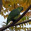 Blue-fronted Parrot (papagaio-verdadeiro)
