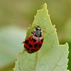 Japanese multi-colored lady beetle