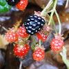 Common Dewberry