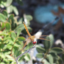 Dragonfly (Libellula)