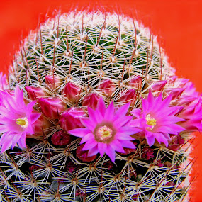 Cactus Pink on Red by Lew Davis - Flowers Flowers in the Wild ( plant, succulent, pink flowers, desert, blooms, succulents, plants, bloom, lew davis, deserts, cactus bloom, nature, cactus blooms, cacti, pink, desert flowers, flowers, flower, cactus,  )
