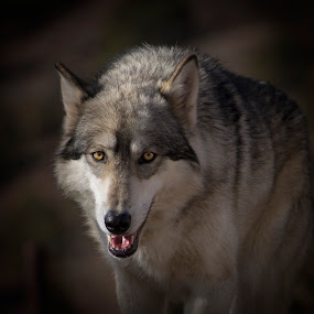 Wolf by Amy Woldrich - Animals Other Mammals ( canine, wolf, nevada, rescue, howl, hybrid, dog,  )