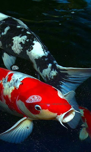 Download koi fish live wallpaper for pc for Koi fish games