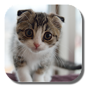 Scottish Fold Cat LWP