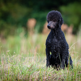 Waiting on a Bird by Robert Watson - Animals - Dogs Portraits ( waterdog, intnese, curly, poodle, wet, trained, dog, portrait,  )