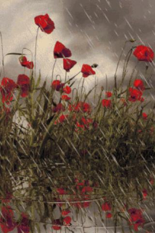 Rain On Poppies Live Wallpaper Android App Screenshot ...