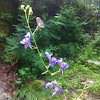 Arizona Monkshood