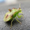 Twin-Spotted Jagged Ambush Bug Nymph