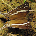 White-banded Daggerwing