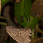 Common Evening Brown (butterfly)