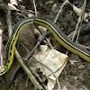 culebra - Shaws dark ground snake.