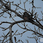 Nothern Red Shafted Flicker