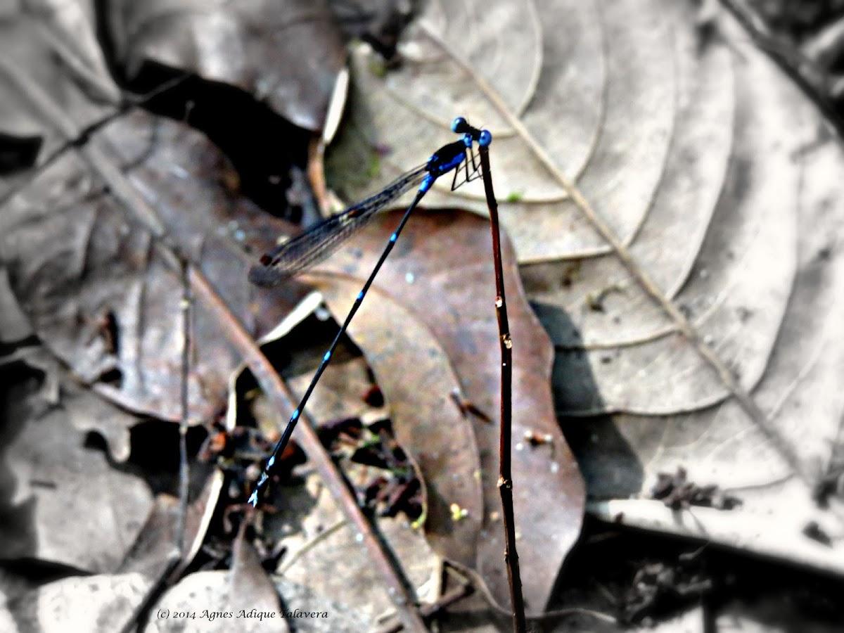 Risiocnemis Damselfly (Male)