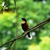 Buff-throated Sunbird
