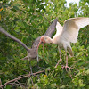 White Ibis and chick