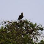 Eagle - African Fish Eagle