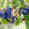 Grapes copia 2.jpg