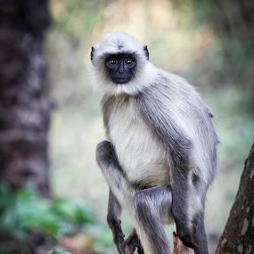 KeralaNagarhole_20110216_13.33.10 by . Reedd2 - Animals Other Mammals ( nagarhole national park, grey langur monkey, orange county kabini, nagarhole, kerala, india, south india, karnataka,  )