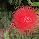 Flor De La Cruz