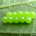 Eggs of the Green Stink Bug