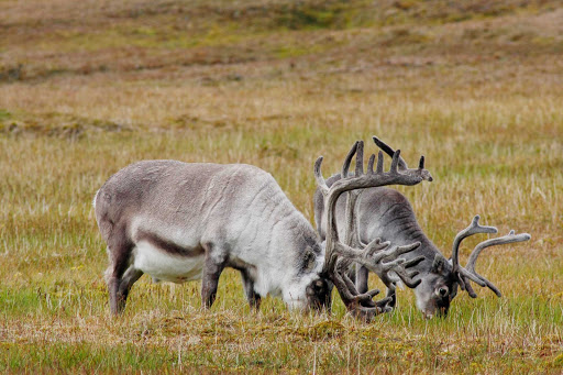 Arctic-Reindeer-Grazing - Two reindeer graze in the arctic tundra during a G Adventures expedition.