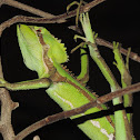 Serrated casquehead iguana
