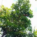 Mango Tree get invaded by Pumpkin