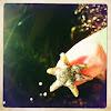 Broad Six Rayed Sea Star