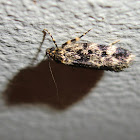 Banded legs moth