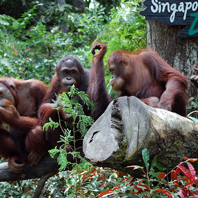 And on todays agenda is.... by Wendy Clee - Animals Other ( singapore zoo, monkeys, orang utans, apes, nikon d90,  )