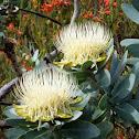 Waboom Protea
