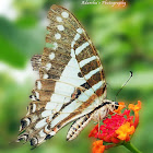 Spot swordtail