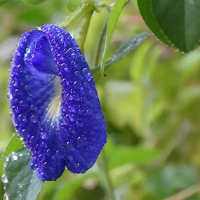 by Sumanta Thakur - Flowers Single Flower